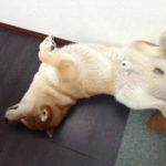 芝犬の噛み癖の躾け方。殺処分されたK太郎に捧げる